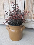 Primitive Dark Red Burgundy Eucalyptus Seeds Bush Floral