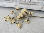 Rustic Farmhouse Primitive Tea Stained Cotton Boll Stem 21